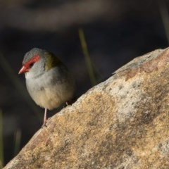 Neochmia temporalis (Red-browed Finch) at ANBG - 26 Jul 2018 by Alison Milton
