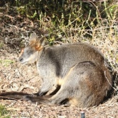 Wallabia bicolor (Swamp Wallaby) at Canberra Central, ACT - 26 Jul 2018 by Alison Milton