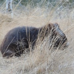 Vombatus ursinus (Wombat) at Gigerline Nature Reserve - 3 Jul 2018 by michaelb