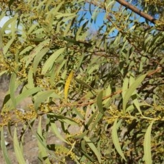 Acacia rubida (Red-leaved Wattle) at Mount Mugga Mugga - 7 Aug 2018 by Mike