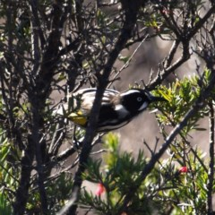 Phylidonyris novaehollandiae (New Holland Honeyeater) at Jerrabomberra Wetlands - 5 Aug 2018 by MatthewFrawley