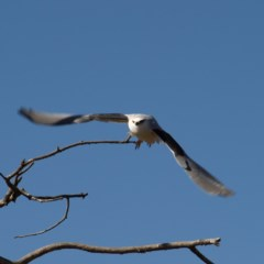 Elanus axillaris (Black-shouldered Kite) at Jerrabomberra Wetlands - 5 Aug 2018 by MatthewFrawley