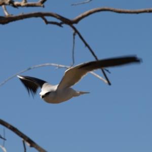 Elanus axillaris at Jerrabomberra Wetlands - 5 Aug 2018