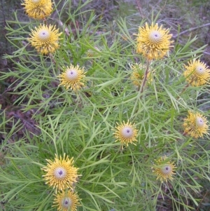Isopogon anethifolius at Ulladulla Wildflower Reserve - 18 Oct 2010