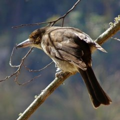 Cracticus torquatus (Grey Butcherbird) at Brogo, NSW - 8 Aug 2018 by MaxCampbell