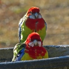 Platycercus eximius (Eastern Rosella) at Macarthur, ACT - 9 Aug 2018 by RodDeb