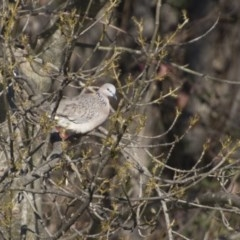 Streptopelia chinensis (Spotted Dove) at Queanbeyan, NSW - 9 Aug 2018 by Alison Milton