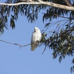 Cacatua sanguinea (Little Corella) at Queanbeyan East, NSW - 9 Aug 2018 by Alison Milton
