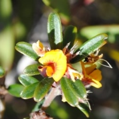 Pultenaea linophylla (Halo bush-pea) at South Pacific Heathland Reserve - 26 Sep 2014 by NicholasdeJong