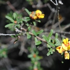 Pultenaea linophylla (Halo bush-pea) at One Track For All - 3 Oct 2014 by NicholasdeJong