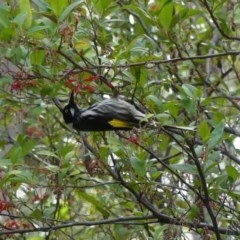 Phylidonyris novaehollandiae (New Holland Honeyeater) at ANBG - 10 Aug 2018 by WalterEgo