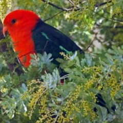 Alisterus scapularis (Australian King-Parrot) at Macarthur, ACT - 10 Aug 2018 by RodDeb