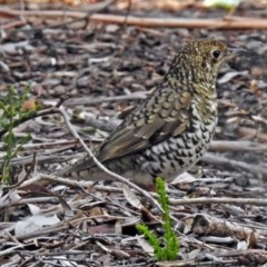 Zoothera lunulata (Bassian Thrush) at ANBG - 10 Aug 2018 by RodDeb