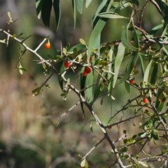 Lycium ferocissimum (African Boxthorn) at Jerrabomberra Wetlands - 24 Apr 2018 by natureguy