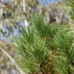 Pinus radiata (Radiata Pine, Monterey Pine) at Wamboin, NSW - 27 Apr 2018 by natureguy