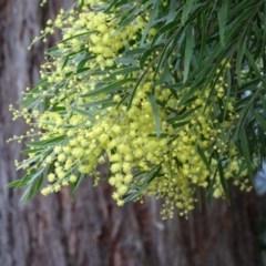 Acacia fimbriata (Brisbane Golden Wattle) at FS Private Property - 10 Aug 2018 by Stewart