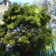 Acacia fimbriata at FS Private Property - 11 Aug 2018