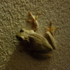 Litoria peronii (Peron's Tree Frog) at FS Private Property - 24 Jan 2018 by Stewart