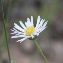 Brachyscome dentata (Lobe-seed Daisy) at Illilanga & Baroona - 3 Jan 2018 by Illilanga