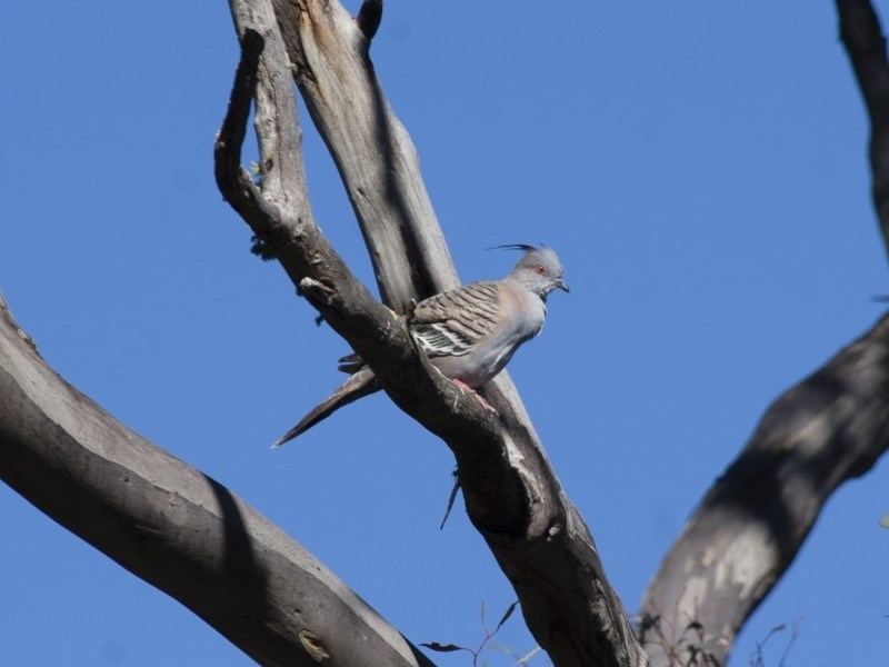 Ocyphaps lophotes at Michelago, NSW - 9 Dec 2011