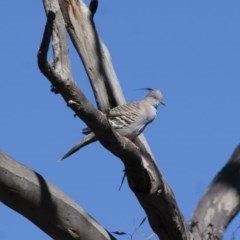 Ocyphaps lophotes (Crested Pigeon) at Illilanga & Baroona - 8 Dec 2011 by Illilanga