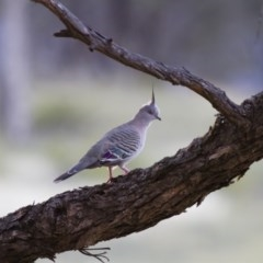 Ocyphaps lophotes (Crested Pigeon) at Illilanga & Baroona - 4 Jan 2014 by Illilanga