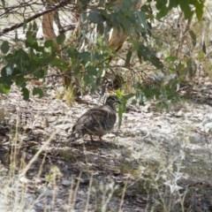 Phaps chalcoptera at Illilanga & Baroona - 27 Dec 2014