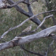 Phaps chalcoptera (Common Bronzewing) at Illilanga & Baroona - 12 Dec 2011 by Illilanga