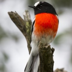 Petroica boodang (Scarlet Robin) at Illilanga & Baroona - 13 Apr 2014 by Illilanga