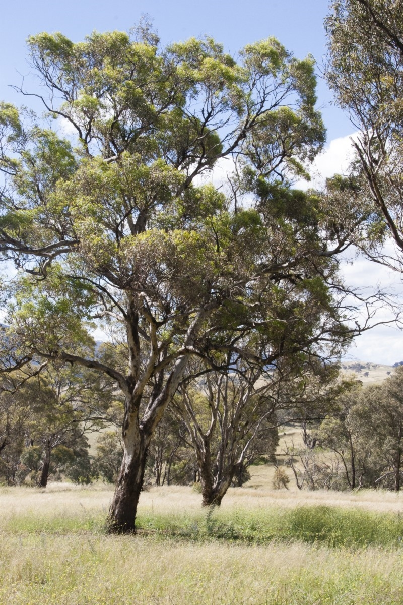 Eucalyptus melliodora at Michelago, NSW - 20 Dec 2010