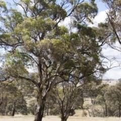 Eucalyptus melliodora (Yellow Box) at Michelago, NSW - 20 Dec 2010 by Illilanga
