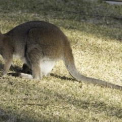 Macropus rufogriseus (Red-necked Wallaby) at Undefined - 9 Aug 2018 by IanS