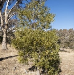 Acacia melanoxylon (Blackwood) at Illilanga & Baroona - 12 Aug 2018 by Illilanga