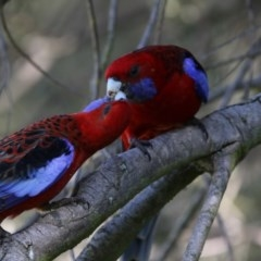 Platycercus elegans (Crimson Rosella) at Jerrabomberra Wetlands - 28 Sep 2017 by Alison Milton