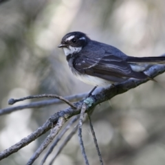 Rhipidura fuliginosa (Grey Fantail) at Jerrabomberra Wetlands - 28 Sep 2017 by Alison Milton