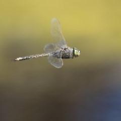Anax papuensis (Australian Emperor) at Jerrabomberra Wetlands - 28 Sep 2017 by Alison Milton