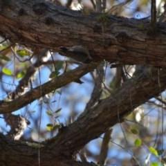 Daphoenositta chrysoptera (Varied Sittella) at Wamboin, NSW - 17 Jul 2018 by natureguy