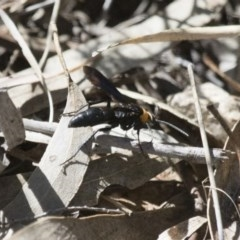 Ferreola handschini (Orange-collared Spider Wasp) at Illilanga & Baroona - 22 Nov 2017 by Illilanga