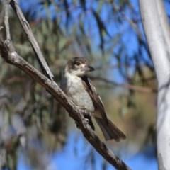 Cracticus torquatus (Grey Butcherbird) at Wamboin, NSW - 18 Jul 2018 by natureguy
