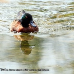 Anas castanea (Chestnut Teal) at Undefined - 9 Aug 2018 by Charles Dove