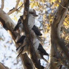 Dacelo novaeguineae (Laughing Kookaburra) at Illilanga & Baroona - 14 May 2012 by Illilanga
