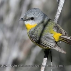 Eopsaltria australis (Eastern Yellow Robin) at One Track For All - 8 Aug 2018 by Charles Dove