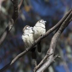 Taeniopygia bichenovii (Double-barred Finch) at Michelago, NSW - 1 Jul 2018 by Illilanga
