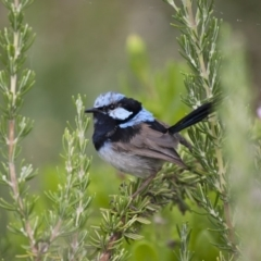 Malurus cyaneus (Superb Fairywren) at Illilanga & Baroona - 12 Feb 2012 by Illilanga