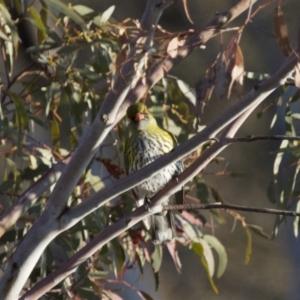 Oriolus sagittatus at Michelago, NSW - 28 Sep 2014