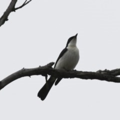 Myiagra inquieta (Restless Flycatcher) at Illilanga & Baroona - 3 Jun 2012 by Illilanga