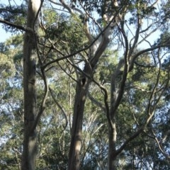 Tree hollows at Mogo State Forest - 13 Aug 2018 by nickhopkins