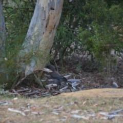 Strepera versicolor (Grey Currawong) at Wamboin, NSW - 27 Jan 2018 by natureguy