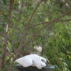 Cacatua galerita (Sulphur-crested Cockatoo) at Wamboin, NSW - 1 Feb 2018 by natureguy