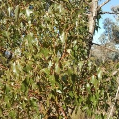 Brachychiton populneus subsp. populneus (Kurrajong) at Jerrabomberra, ACT - 14 Aug 2018 by Mike